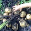 Когда обрезать ботву у картофеля и нужно ли это делать?