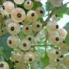 Опрыскивание смородины весной от вредителей: обработка кипятком и другими эффективными средствами