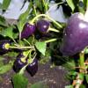 Чем подкормить перцы для роста: народные средства