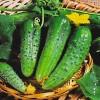 Огурец Нежинский - один из лучших многовековых сортов