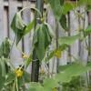 Темные пятна на томатах: причины возникновения и методы борьбы