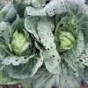 Почему не завязывается цветная капуста: возможные причины
