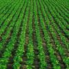 Сахарная свекла: правила выращивания и ухода
