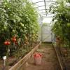 Кладоспориоз томатов: лечение и профилактика болезни
