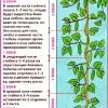 Уход за огурцами в открытом грунте: советы и рекомендации