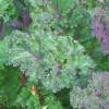 Капуста кале: особенности выращивания и сорта