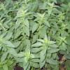 Выращивание душицы обыкновенной: советы по уходу, полезные свойства