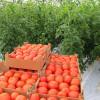Внекорневая подкормка томатов: эффективность удобрений