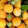 Малина - Оранжевое чудо: посадка и уход за ремонтантным сортом