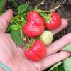 Удобрения для клубники во время цветения и плодоношения