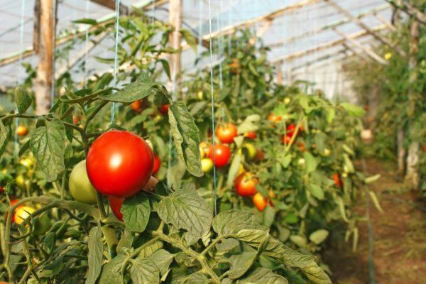 При выборе сорта, обращайте внимание на цвет и размер плода