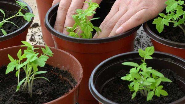 Удобряя почву подкормкой, рассада вырастет значительно быстрее