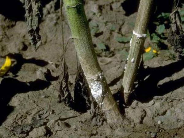 Заражение корневой гнилью огурцов