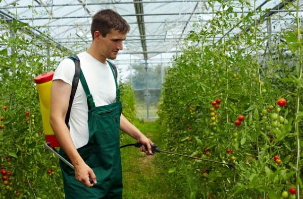 Профилактическая обработка томатов в теплице средством от фитофторы