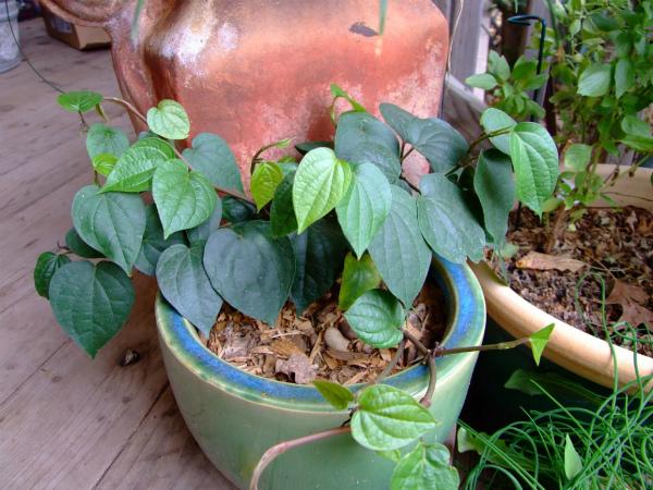 Выращивание черного перца дома в горшочке