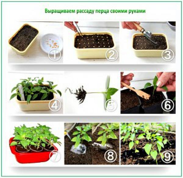 Схема выращивания рассады черного перца