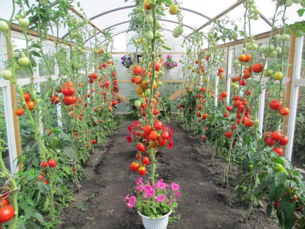 Как выглядят правильно посаженные помидоры в теплице