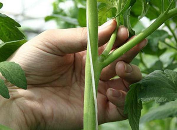 Прищипывание пасынков томата руками