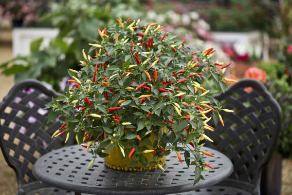 Острый перец в качестве декоративного растения