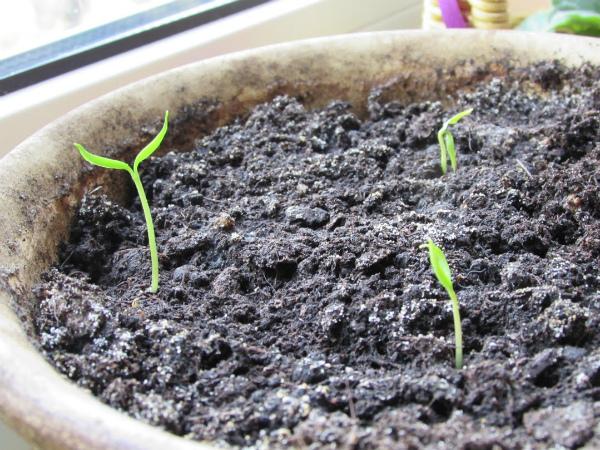 Первые ростки рассады острого перца