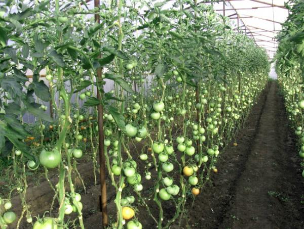 Формирование кустов томатов в один стебель