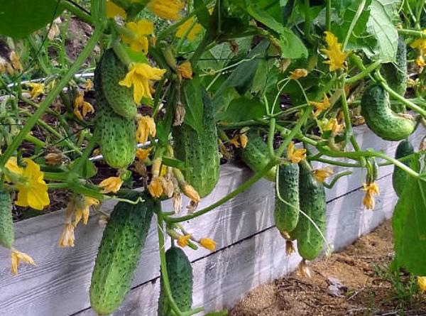 Период активного плодоношения огурцов