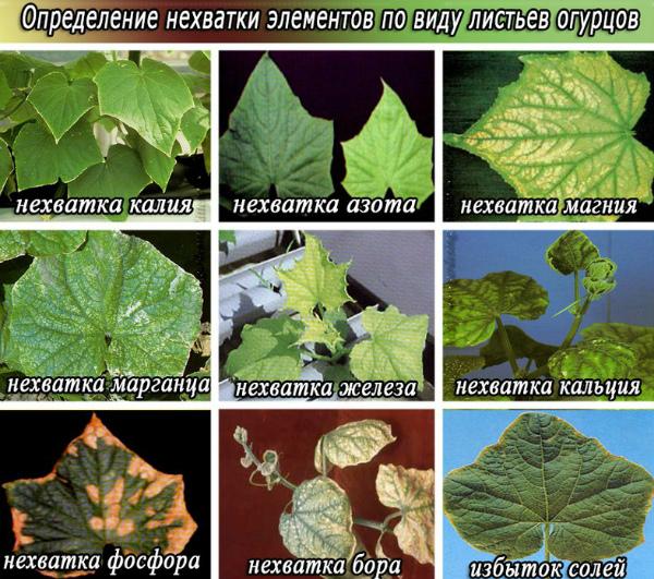 Определение нехватки элементов по виду листьев огурцов