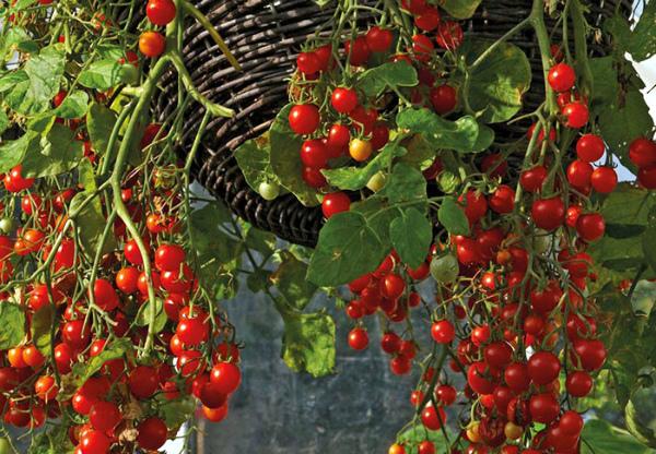 Богатый урожай помидоров Черри