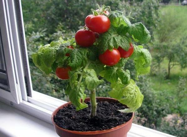 Декоративный томат в цветочном горшке