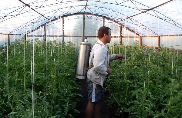 Опрыскивание помидор в теплице