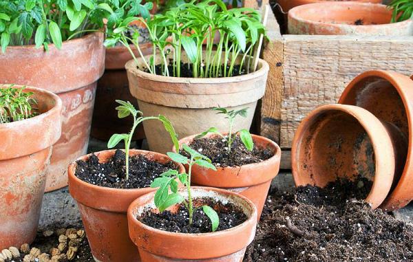 Рассада томатов ожидает времени посадки