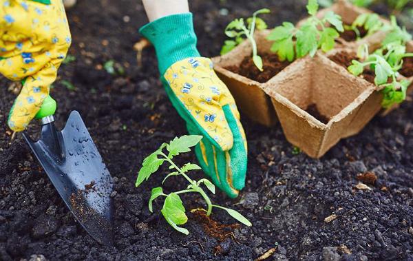 Посадка рассады томатов в открытый грунт