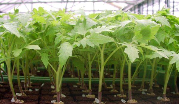 для более быстрого и хорошего роста необходимо удобрять рассаду