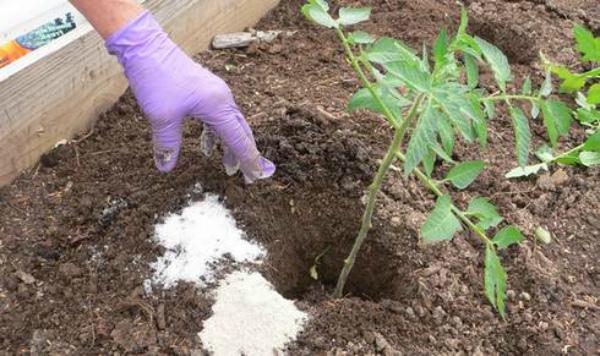 Удобрение помидор непосредственно перед высадкой