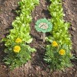 Бархатец в огороде как защита от вредителей