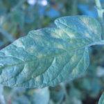 Бурая пятнистость на листьях томатов