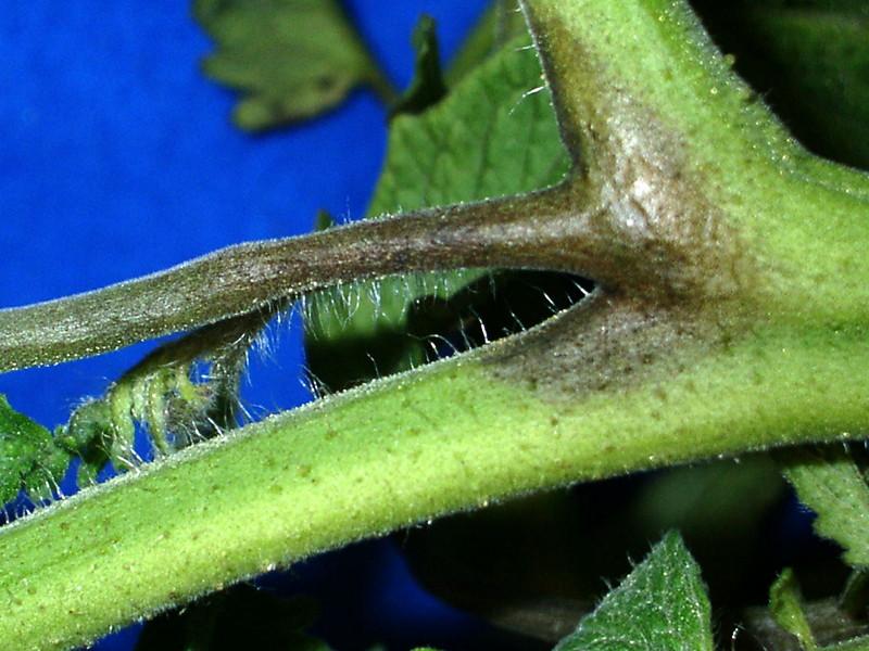 Фитофтороз на стебле помидора