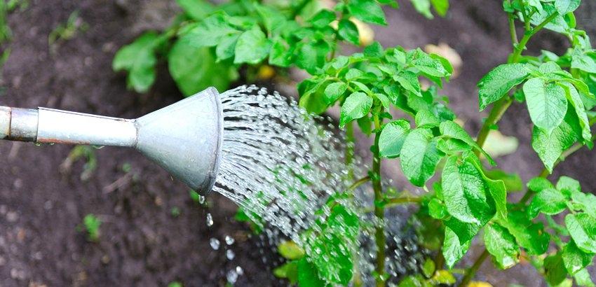 Фото процесса полива картофеля