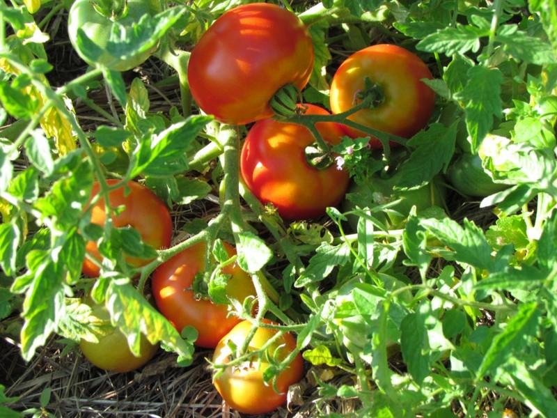 Фото томатов сорта Скороспелка