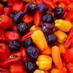 Фото урожая разноцветного перца