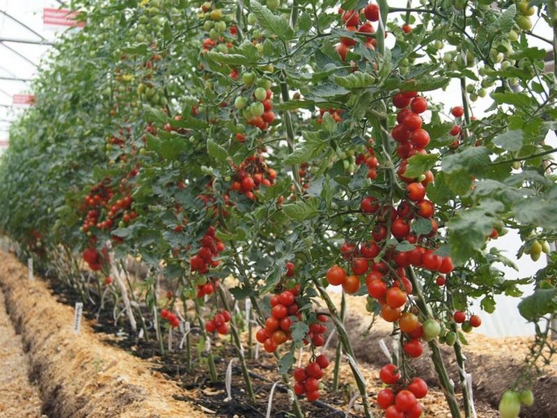 Индетерминантные томаты в открытом грунте