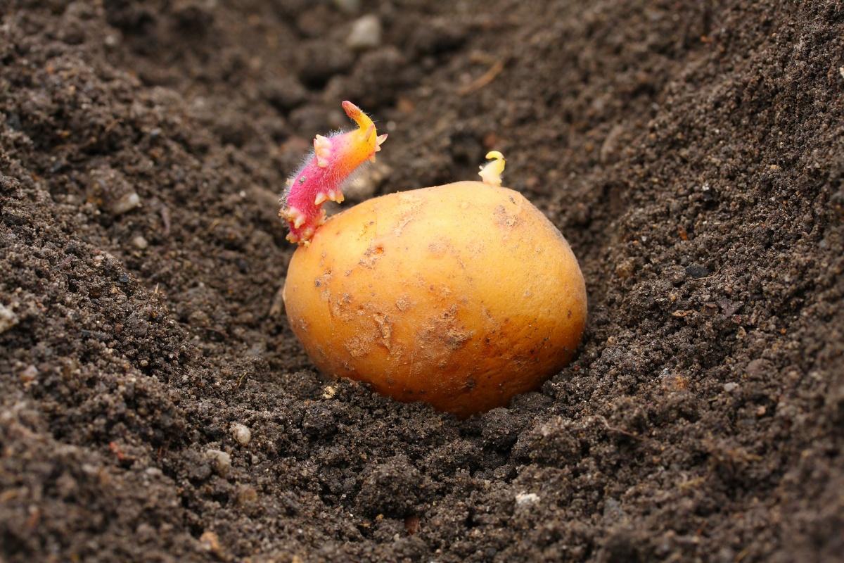 Картофель в земле с ростком
