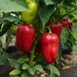 Красный сладкий перец в теплице