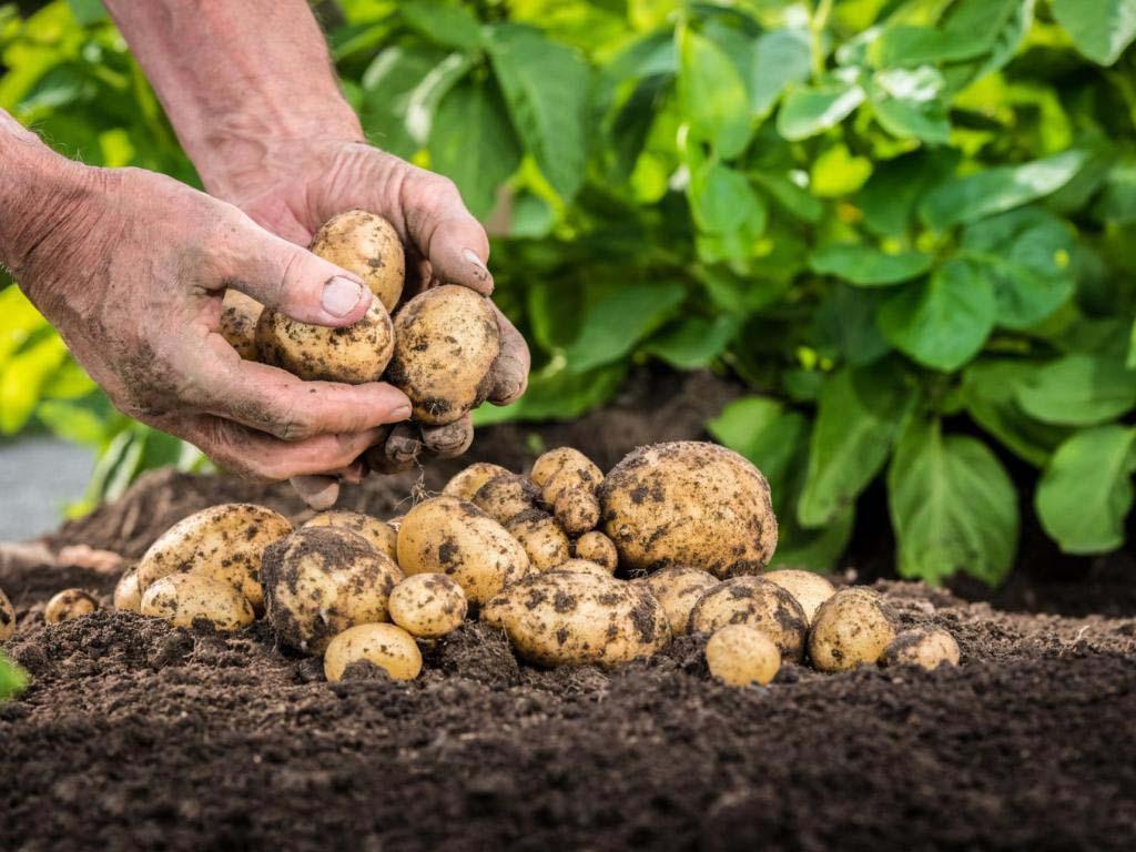 Крупный и мелкий картофель