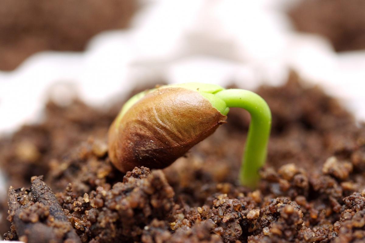 Фото первого ростка перца