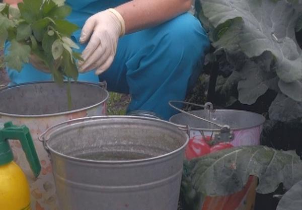 Подготовка к обработке огурцов