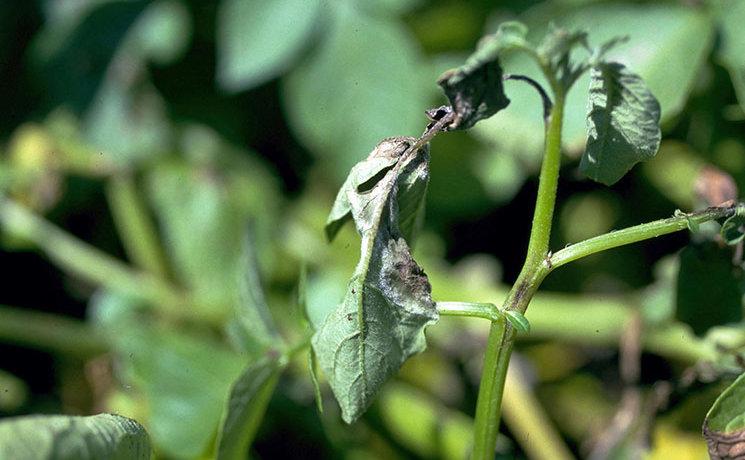 Пораженные фитофторозом листья картофеля
