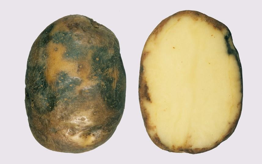 Пораженный фитофторозом клубень картофеля