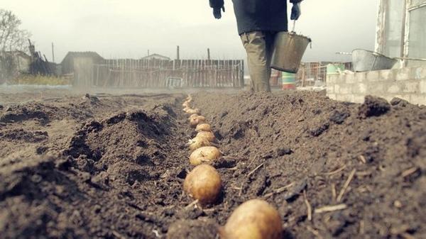 Посадка картофеля в почву