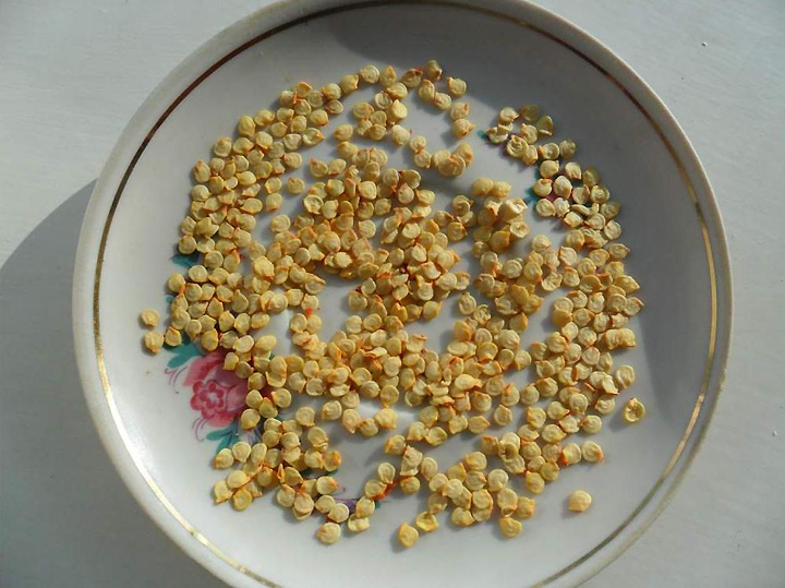 Предпосевная подготовка семян перца